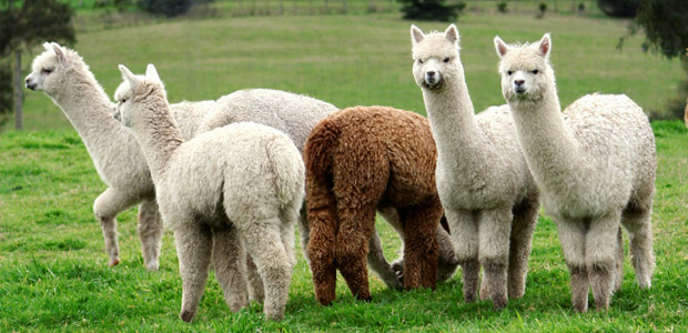 alpacas-in-field