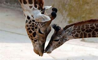 giraff sb zooo